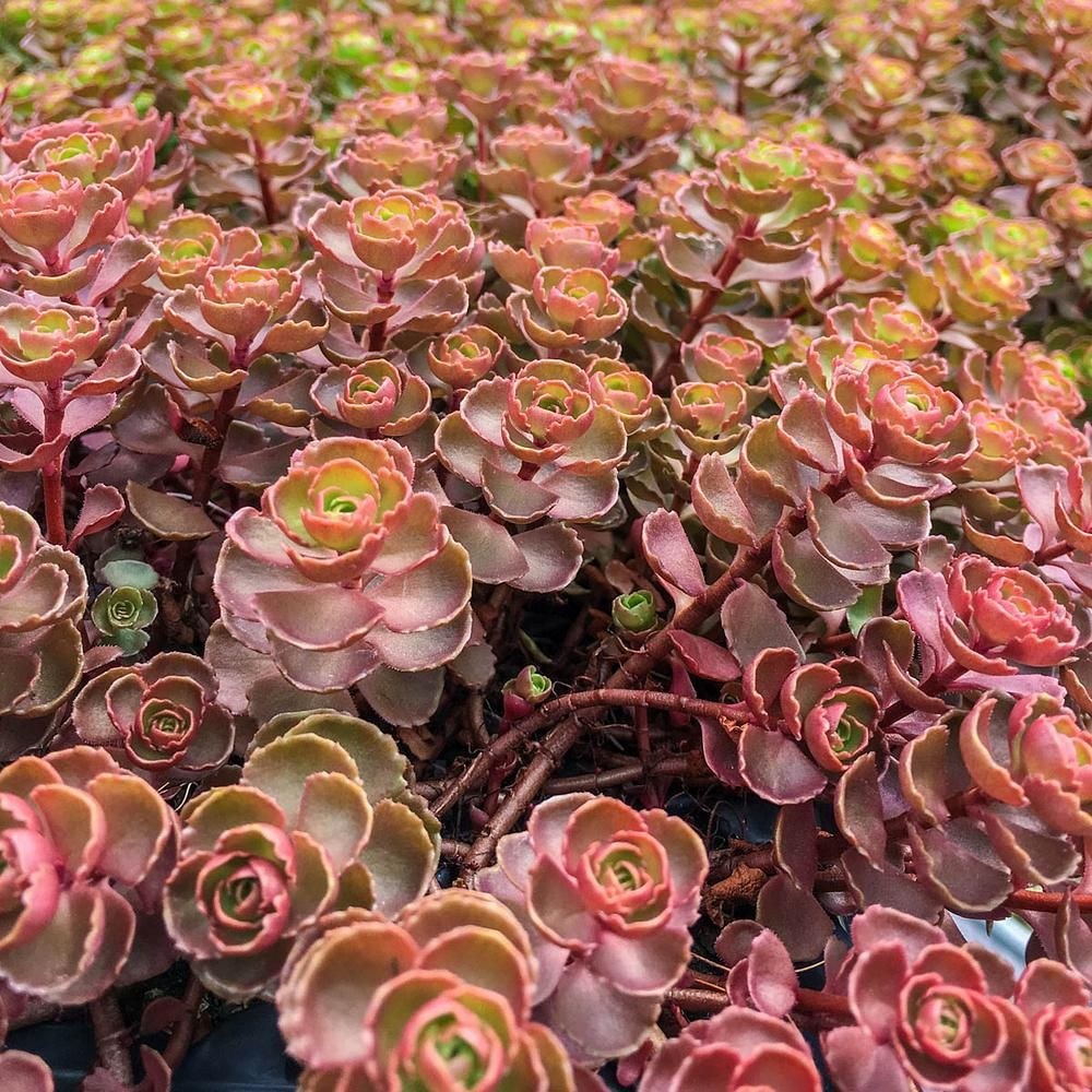10 x Sedum Cuttings Variety Pack Perfect for growing your own sedum plants!