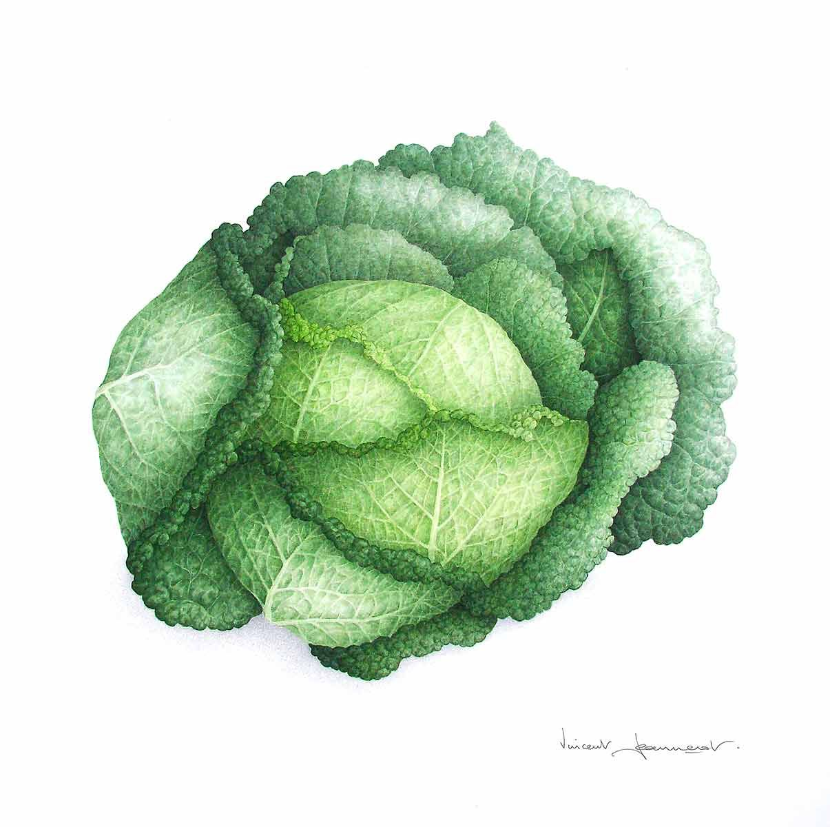 Cabbage Dessin Legumes Illustration Botanique Et Illustration