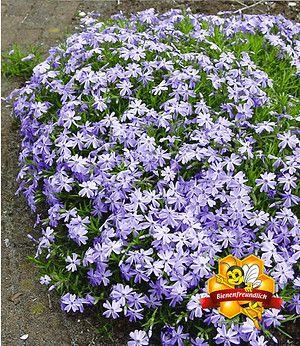 blauer teppich-phlox,3 pflanzen | garten - pflanzen | pinterest, Hause ideen