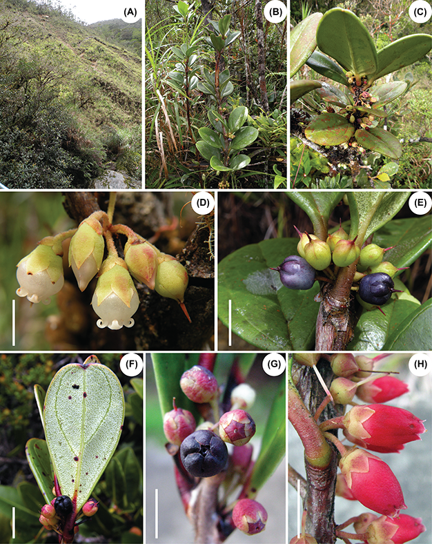 Species New to Science: [Botany • 2016] Diplycosia rigidifolia sp. nov. (Ericaceae) from Mount Kinabalu, Borneo, Sabah, Malaysia