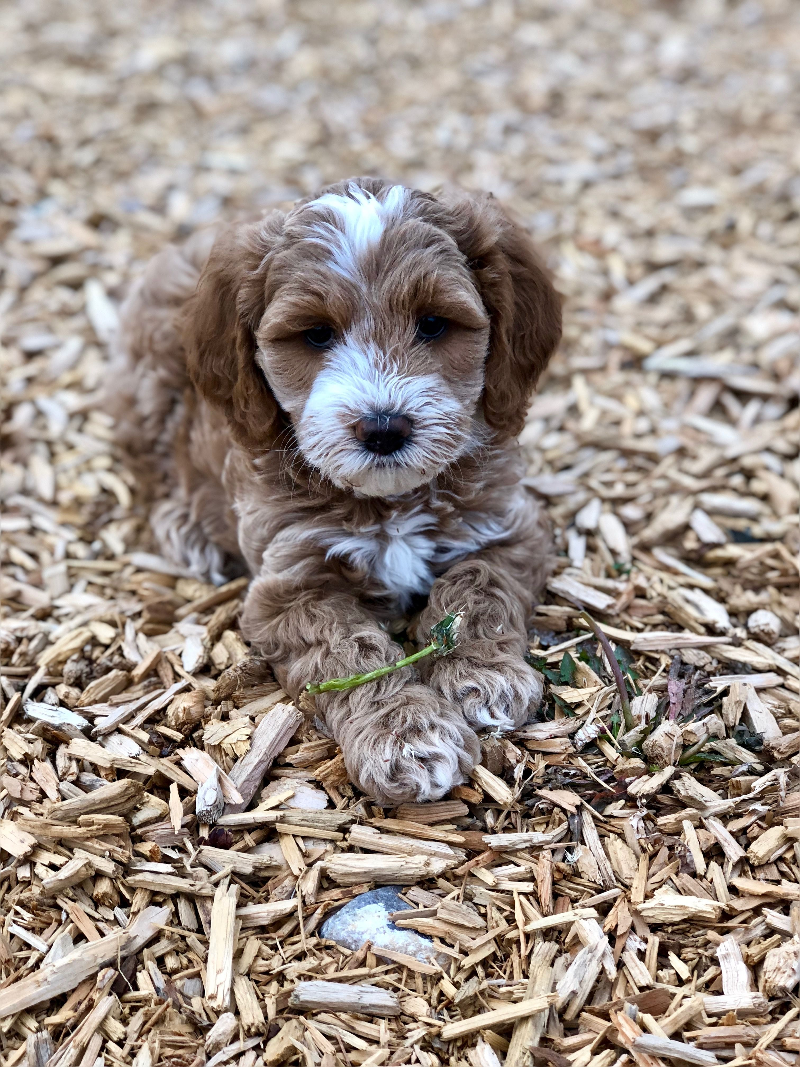Red and white Australian Labradoodle Puppy Labradoodle