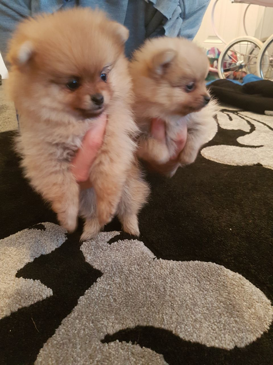 Pedigree Miniature Pomeranian Girl Puppys For Sale Puppies