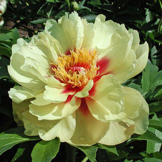 Must Grow New Varieties Of Perennials For 2013 Peonies Garden
