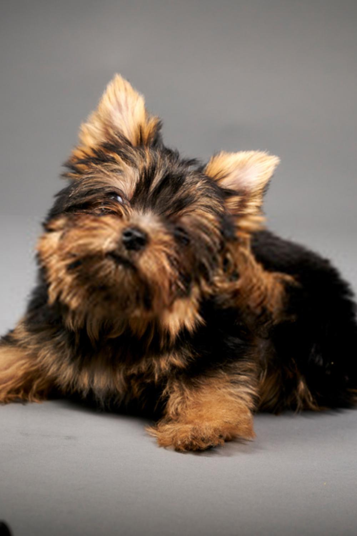 Yorkshire Terrier Puppy Portrait Image Taken In A Studio
