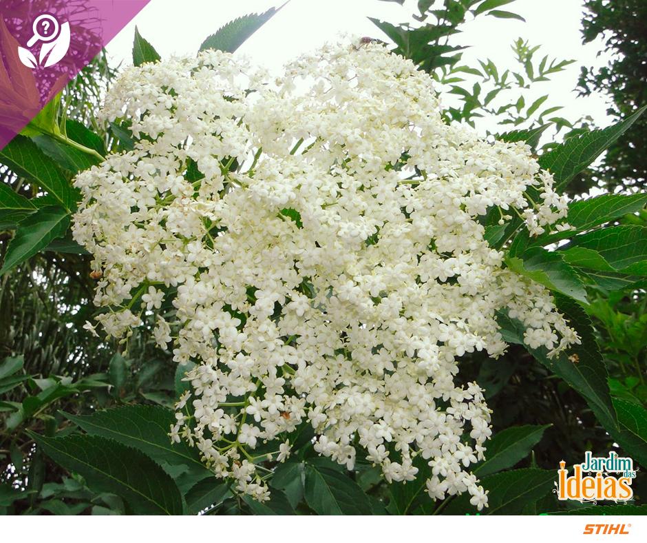 O sabugueiro é uma planta medicinal  também conhecida como Sabugueiro-da-europa, Sabugueirinho ou Sabugueiro-negro, e é muito utilizada para tratar gripe ou resfriado. Suas flores brancas, folha e parte interna do caule são usadas para fazer chá. Você sabia que o significado do nome desta flor é bondade?