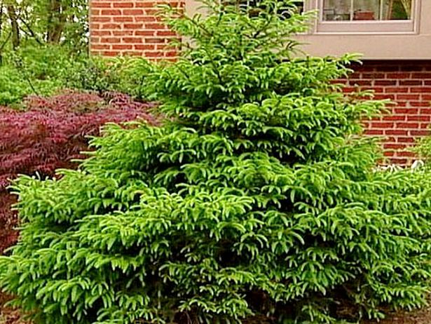 17 low maintenance plants and dwarf shrubs low for Low maintenance evergreen shrubs