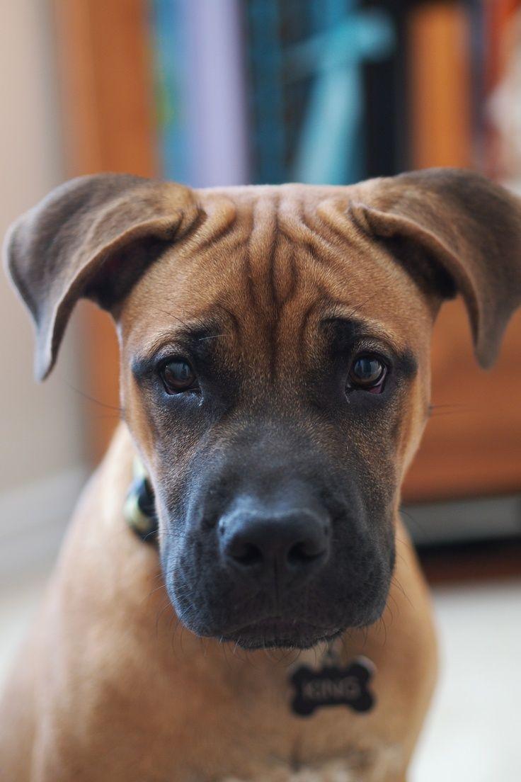 Boxer Labrador Dog Dog Pictures Blog Labrador Dog Dogs Boxer Dogs