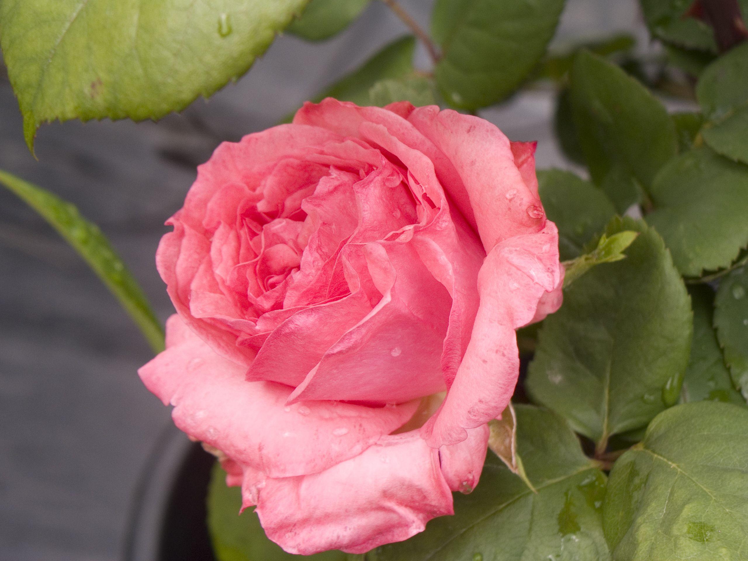 Pantere Rose