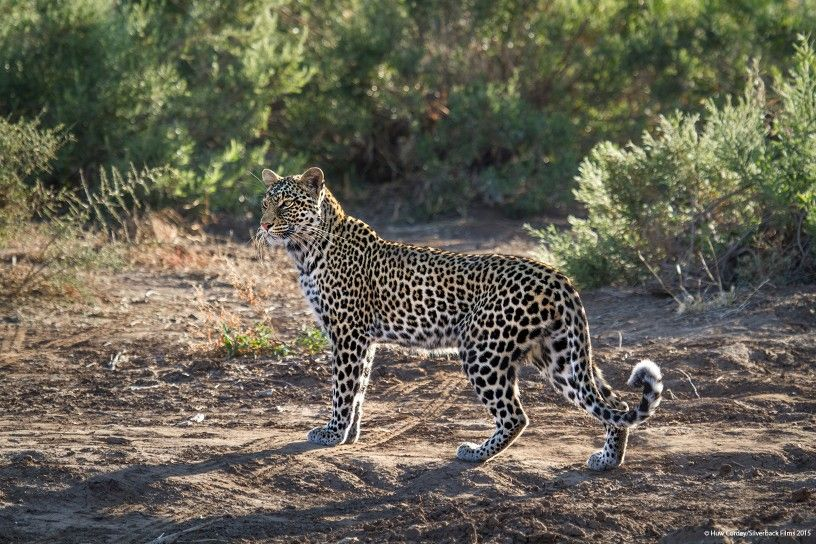A leopard on the lookout for prey in South Luangwa