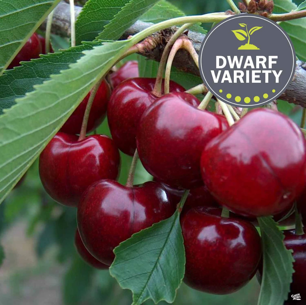 Cherry Lapins Dwarf In 2021 Growing Cherry Trees Fruit Trees Cherry Tree