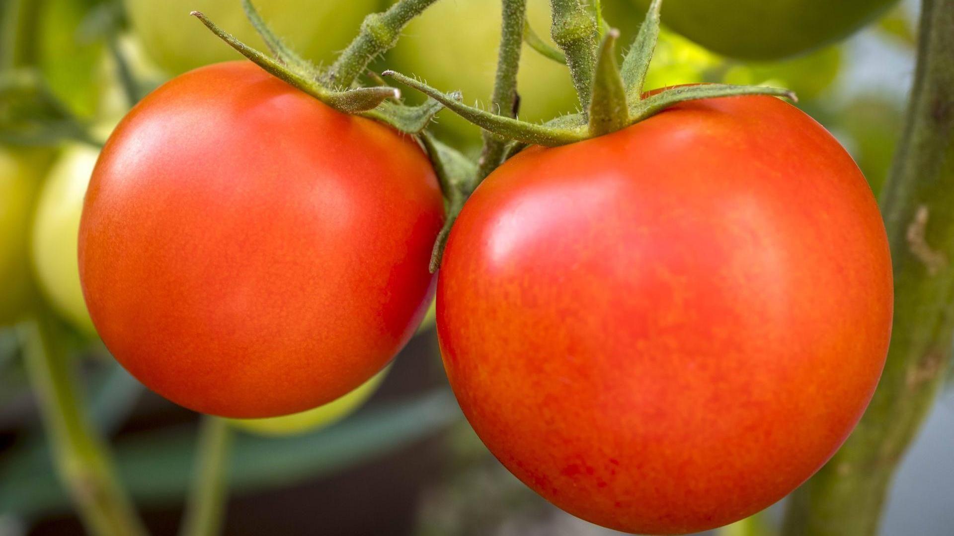 Wie Sie Ihre Tomaten richtig ausgeizen #tomatenzüchten