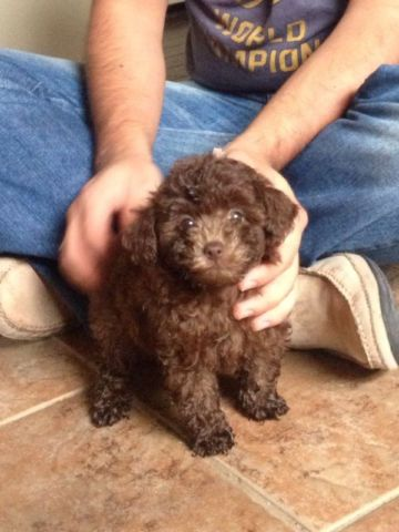 Toy Poodle Puppy Chocolate Colour Toy Poodle Puppy Poodle