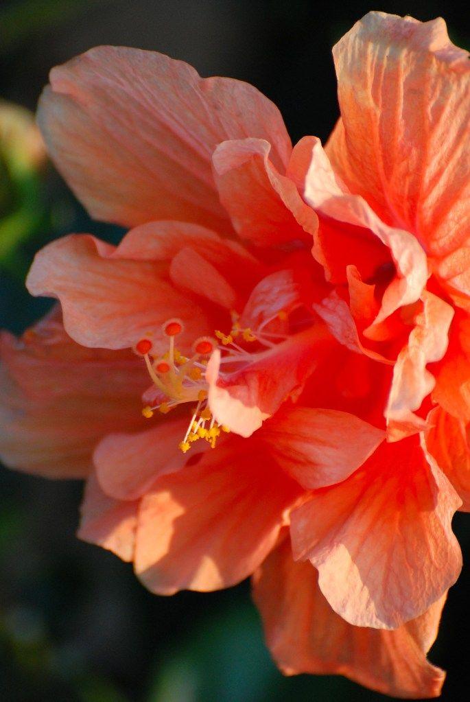 hibiscus 'classic orange' (5)