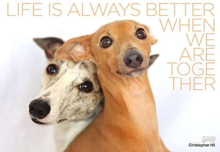 Life is better with two greyhounds together   Grey hound ...