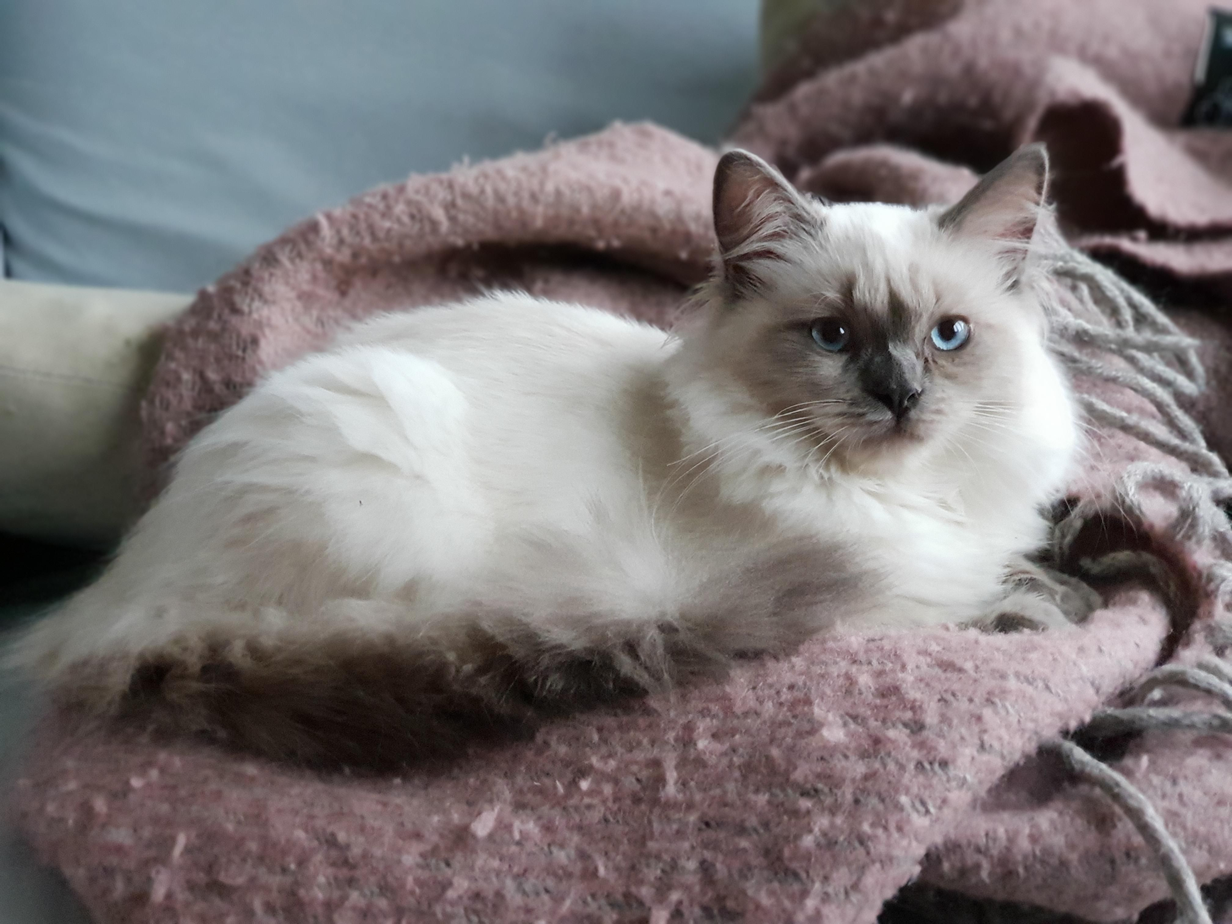 Misty On Her Favorite Wool Blanket Hello There Bright People Are You Catlover Or Have You Any Pretty Cats I Thin Cute Cats And Kittens Cats Cat Blanket
