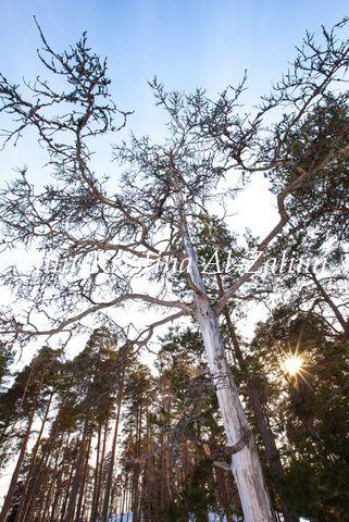 Kelo Clothesline Interesting Kelo  Pine Tree Inspiration