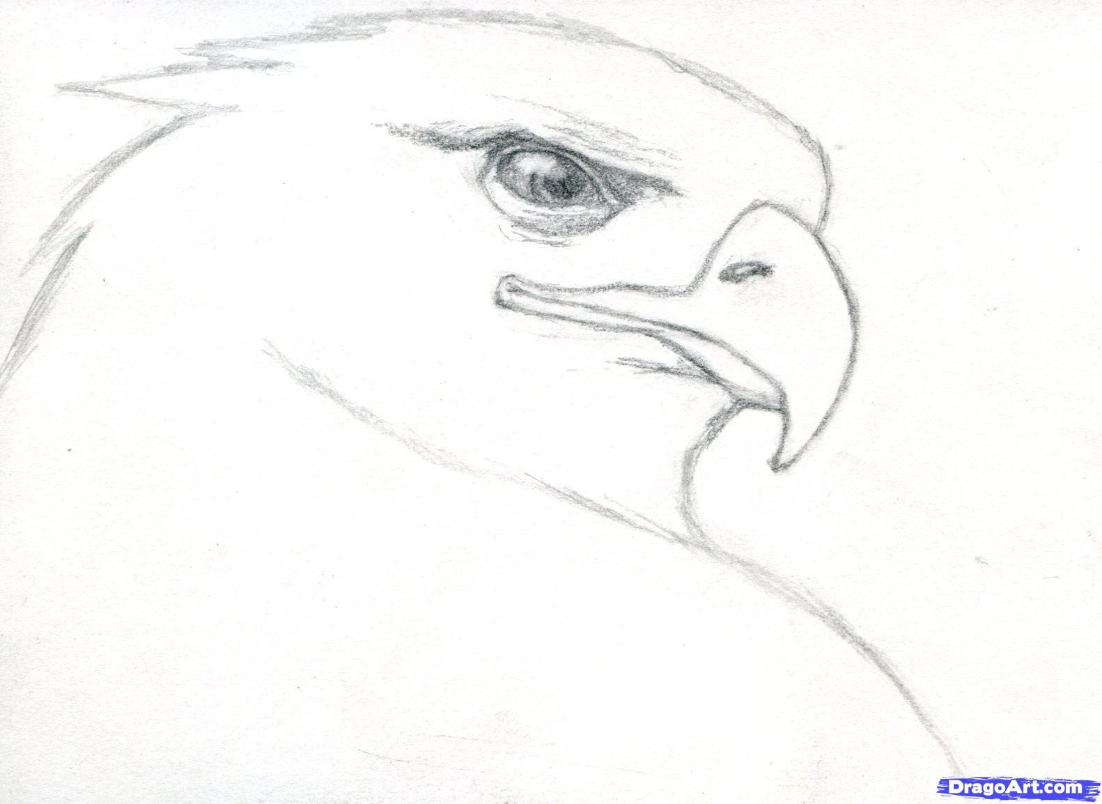 How To Draw A Realistic Eagle Golden Eagle Step 5