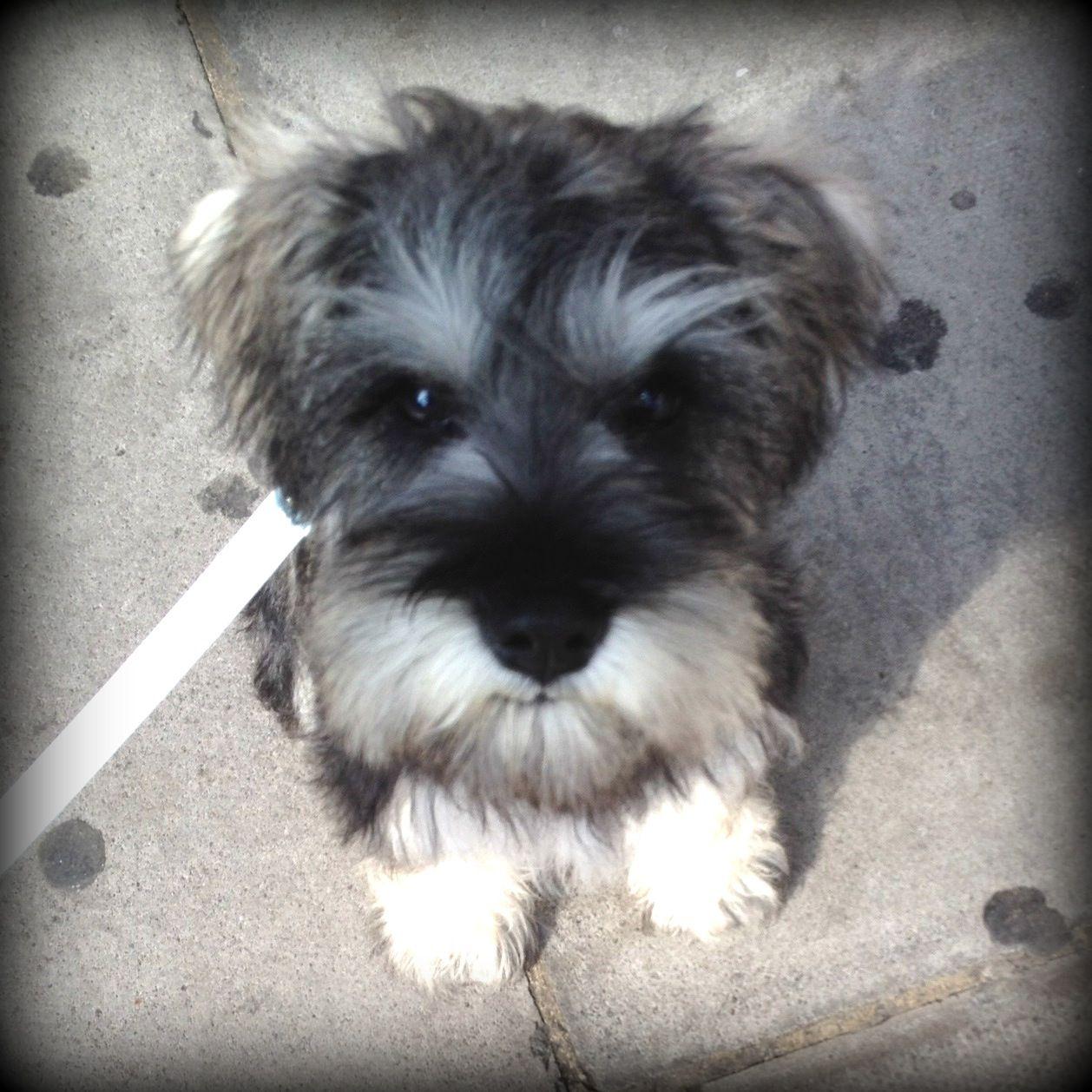 Alfie At 4 Months Old Mini Schnauzer Mini Schnauzer Puppies Schnauzer Puppy