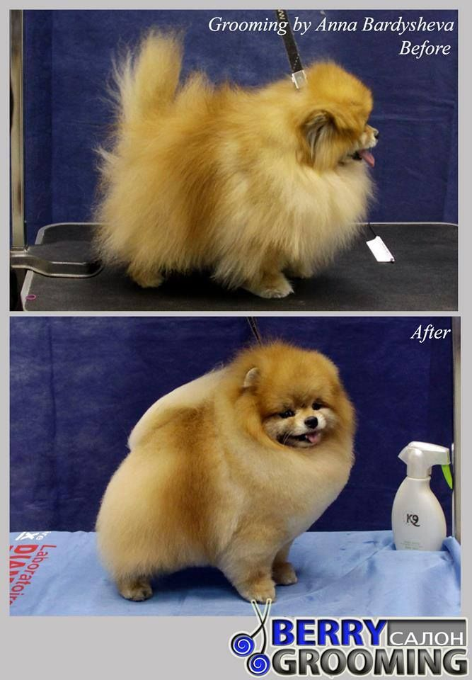 pomeranian haircut styles beautifully groomed pomeranian all that groom stuff 2273 | dfeba3530d610775eb1d7accef865e36