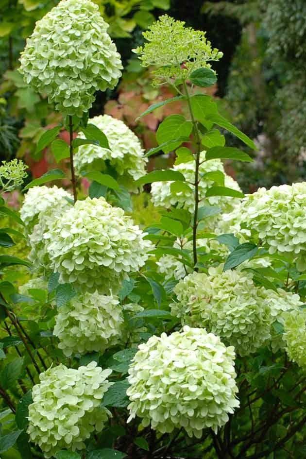 Hortensia 39 limelight 39 tuin plant en bloem pinterest for Jardin de fleurs blanches