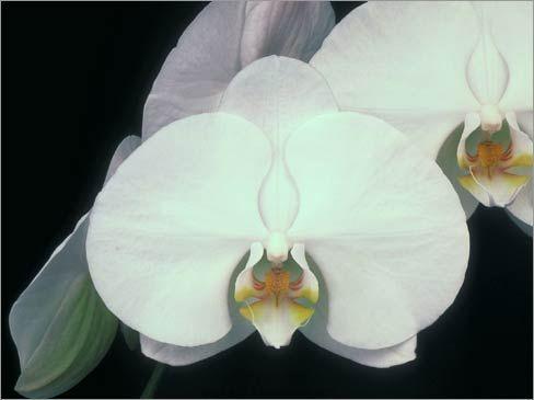 Phalaenopsis velky_y.jpg