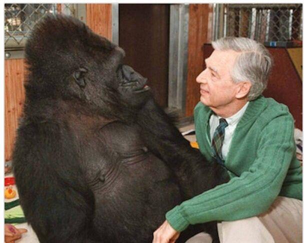 Koko The Gorilla Loved Mr Rogers Animals Gorilla Animals Beautiful