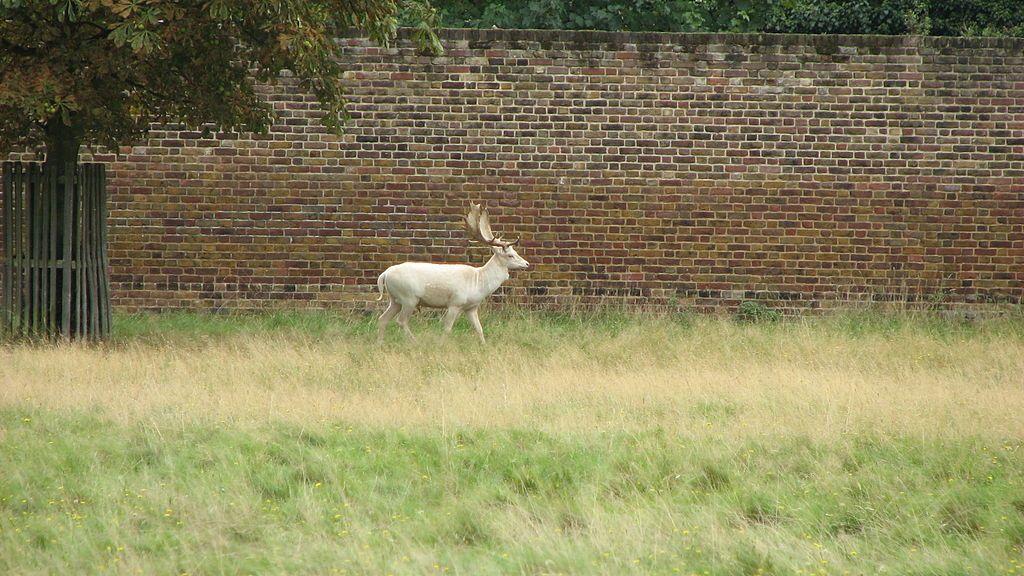 Bushy Park White stag (3019361898) White stag