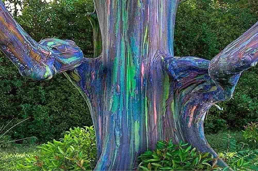Regenbogen-Eukalyptus Eucalyptus deglupta 25 Samen