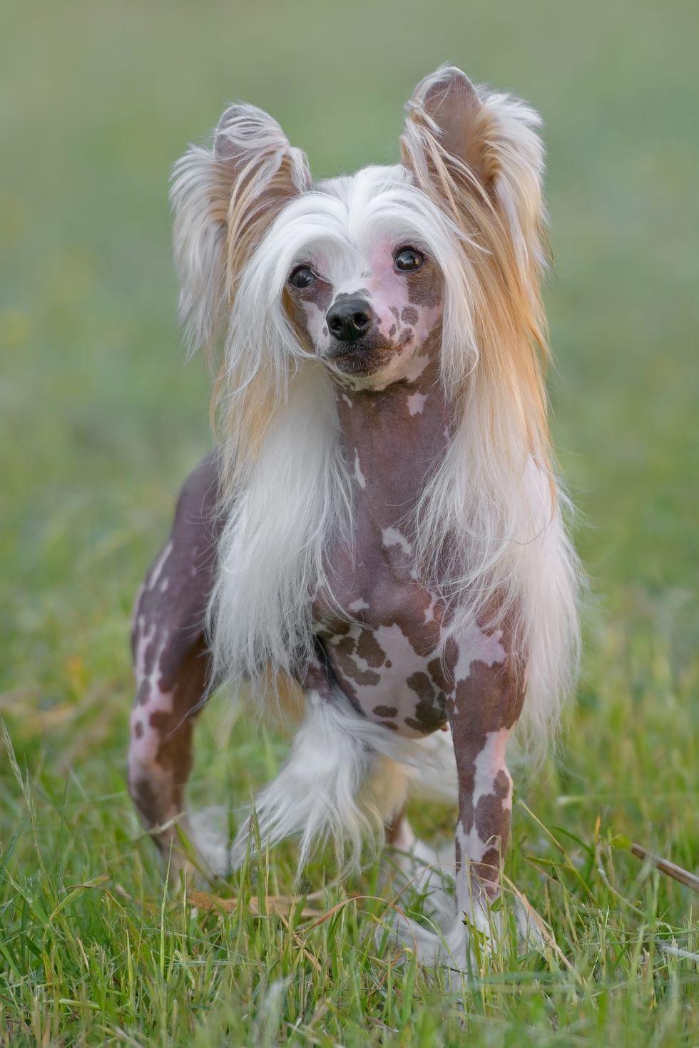 , Unusual Small Dog Breeds, Carles Pen, Carles Pen