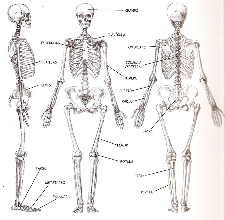Esqueleto Humano - ThingLink | make up | Pinterest | Esqueleto ...