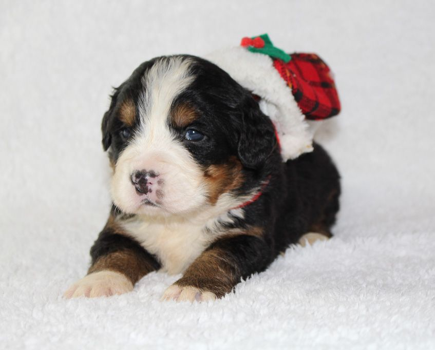 Bentley Puppy For Sale Bernese Mountain Dogs Vip Puppies Puppies For Sale Puppies Bernese Mountain Dog