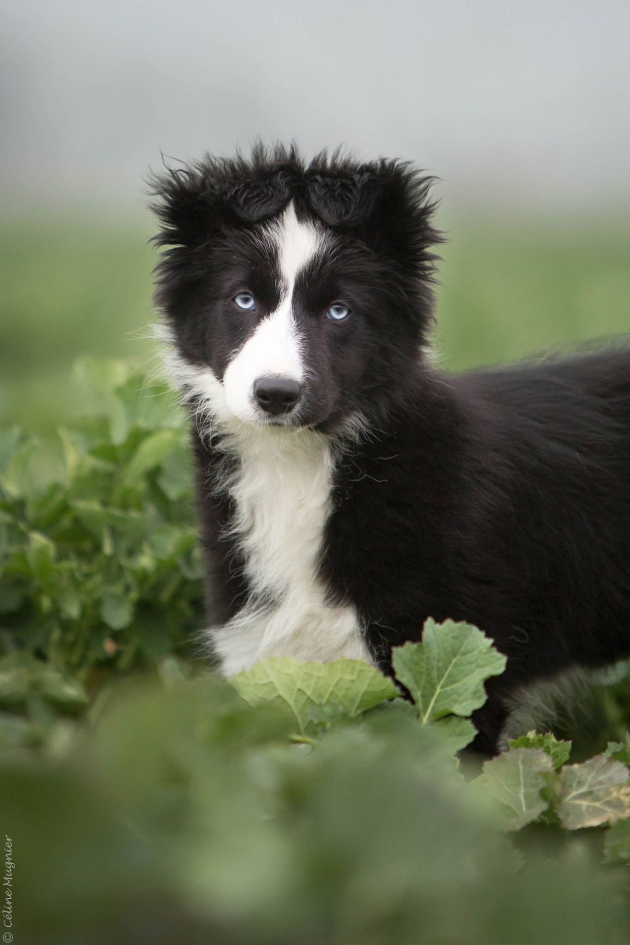 Oh my, those awesome ears and.....that face! Collie