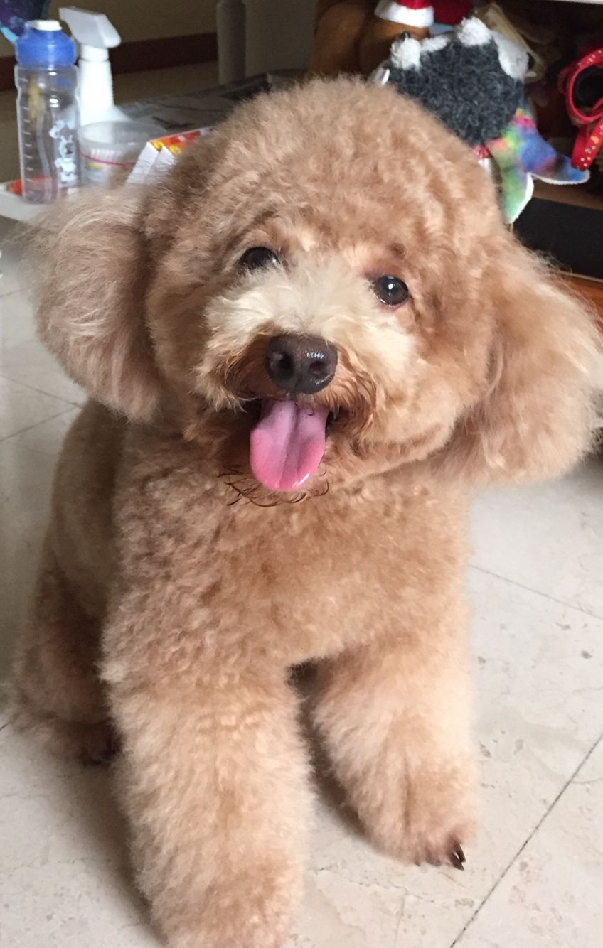 Our little munchkin....Zen. Toy Poodle | Doggies | Pinterest ...