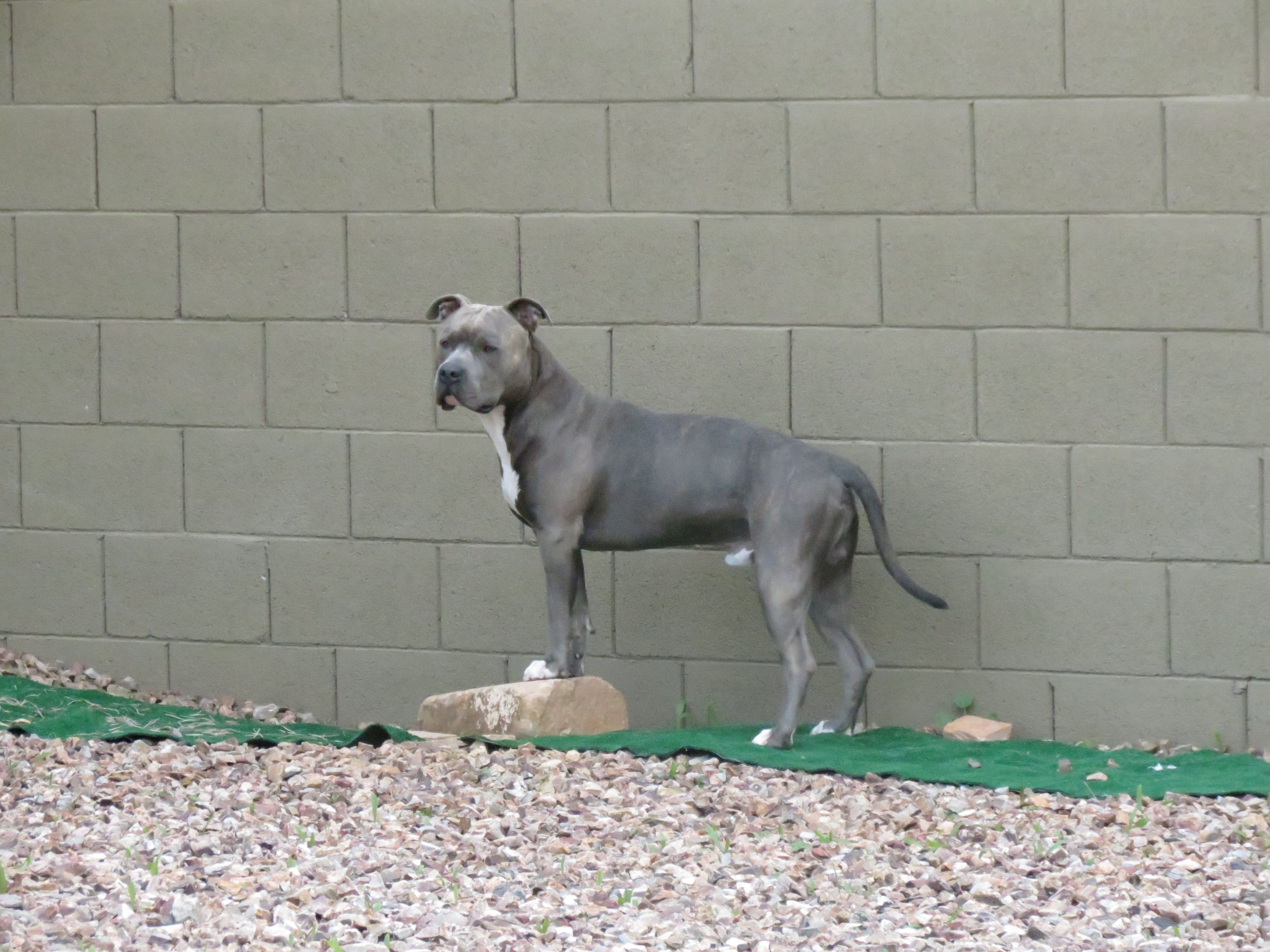 Knight Sabre The Thunderfoot 1 Year 3 Months Apbt Amstaff Blue