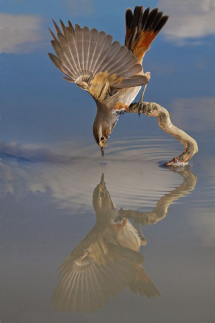 bluethroat  (photo by alejandro jimenez)