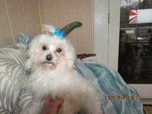 Dale 6 Lbs Of Sweetness Is An Adoptable Maltese Dog In Alpharetta