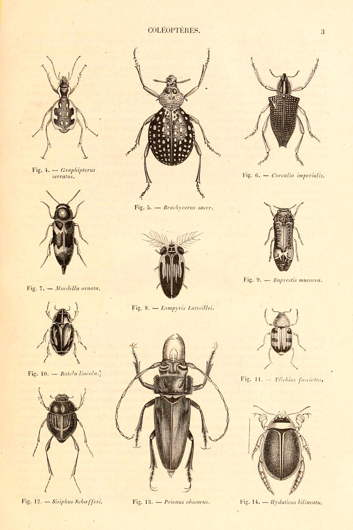 Photo of Stunning 19th-Century French Natural History Illustrations of Beetles