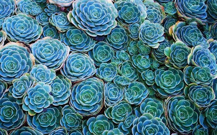 Succulents, Nature, Plants HD Wallpaper Desktop Background ...