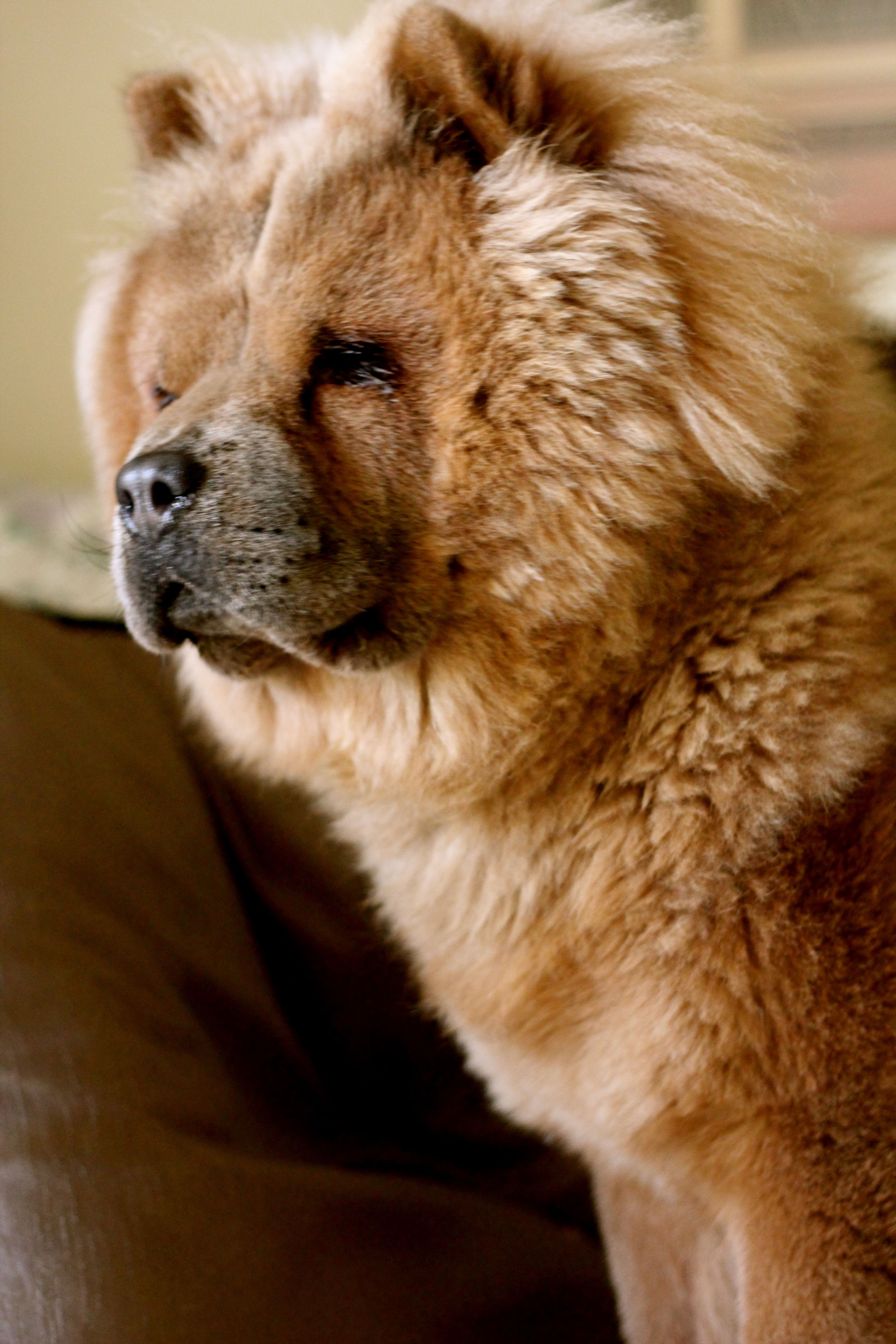 Chow Chow Aka Roscoe 1yr Old Boo The Dog Chow Chow Dog Puppy