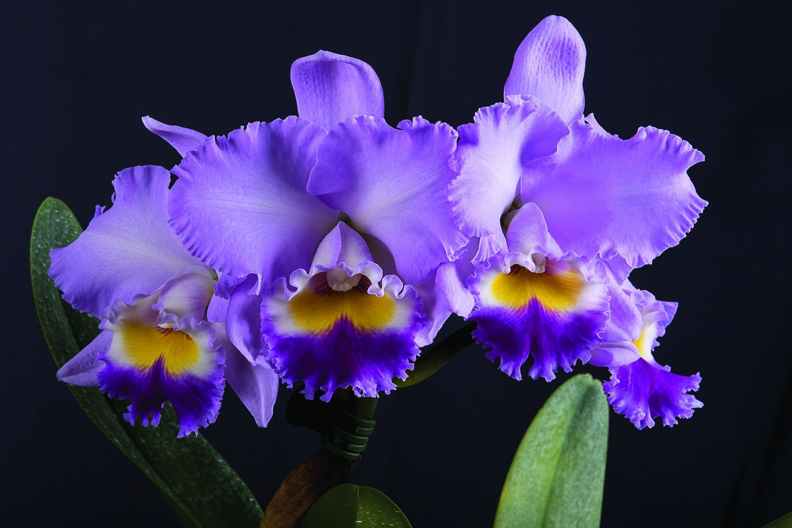 Blc Annie Bella X Clc Mary Alix Beautiful Orchids Orchid Flower Cattleya Orchid