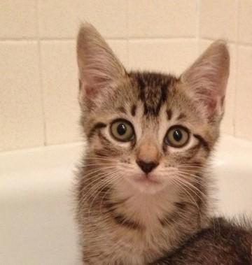 Adopt Mason on Cats Short hair cats, Animals, Cats
