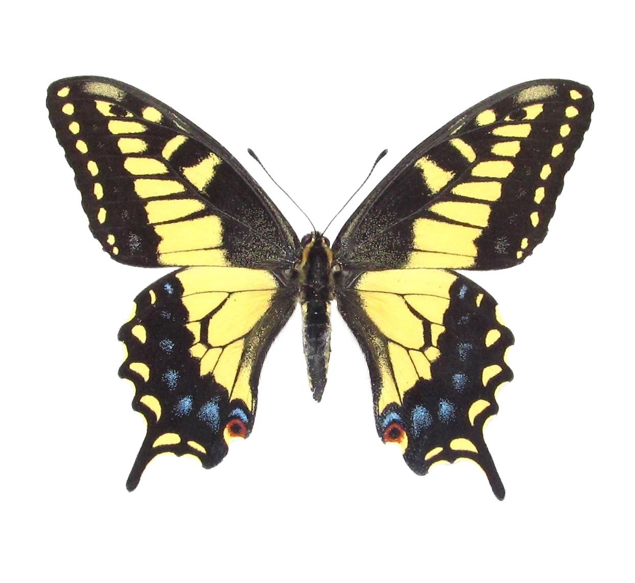 Bicbugs Papilio Zelicaon Anise Swallowtail Yellow Black Butterfly California Black Butterfly Yellow Butterfly Tattoo Butterfly Species