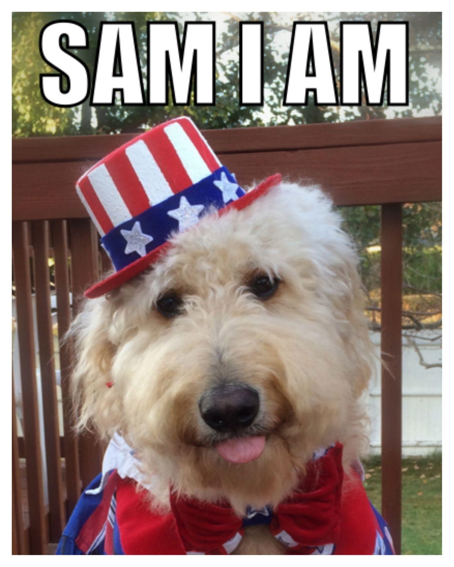 5407891263b My Yankee Doodle Dandy. hahaha   D  Uncle Sam  Goldendoodle  Halloween   costume  FourthofJuly  tongue  patriotic  stars  stripes  redwhiteandblue   dog  pets ...