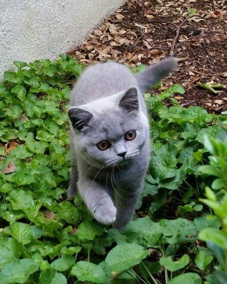 British Shorthair Kitten Charli Cute Cats Cutest Kittens Ever Cats