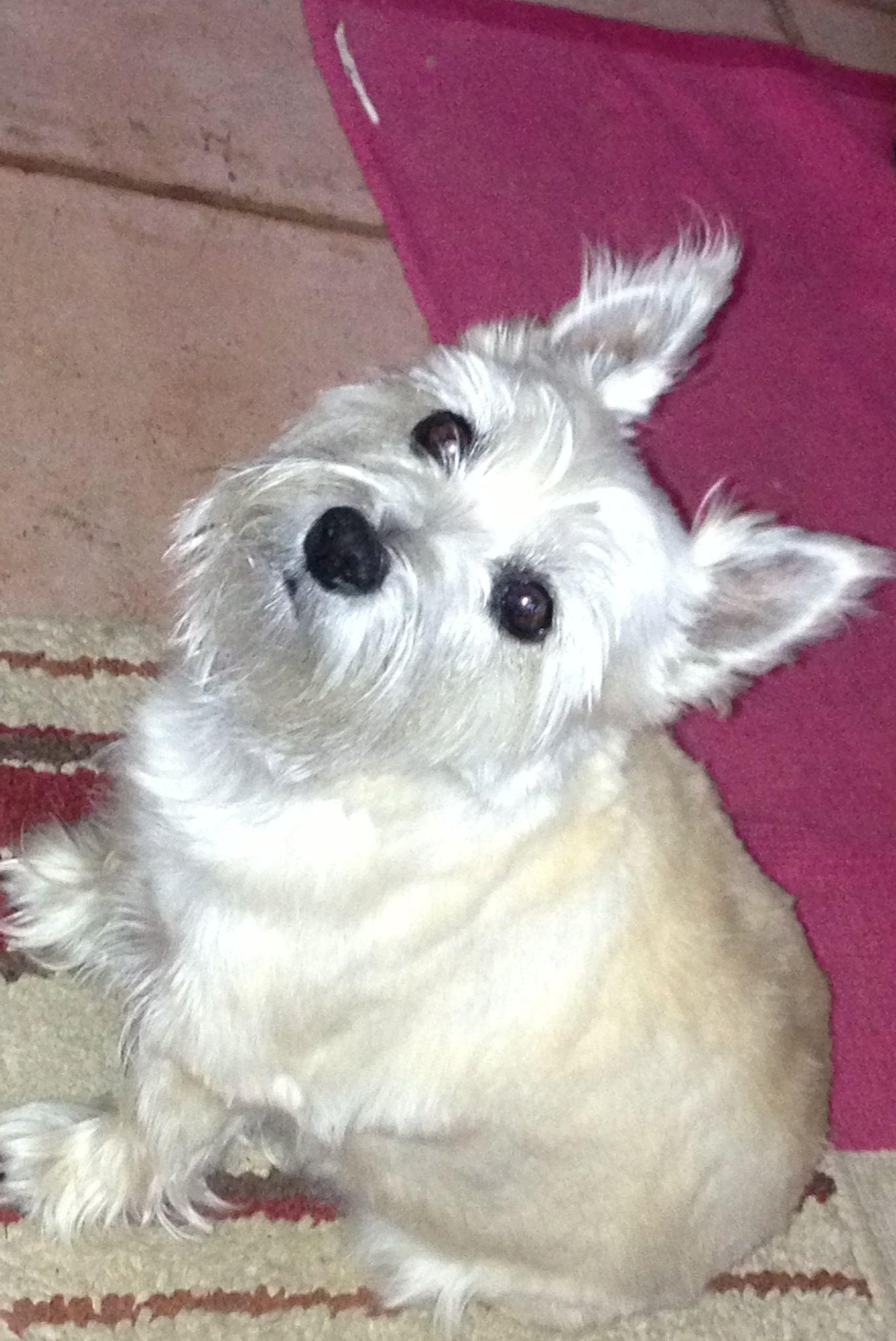 Tazzy Cairn terrier sideways