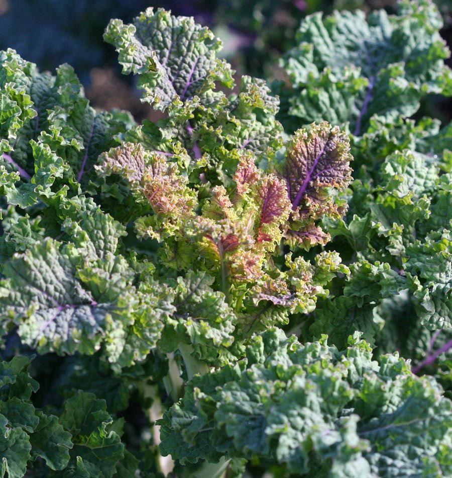rainbow lacinato organic seeds organic vegetables and vegetable