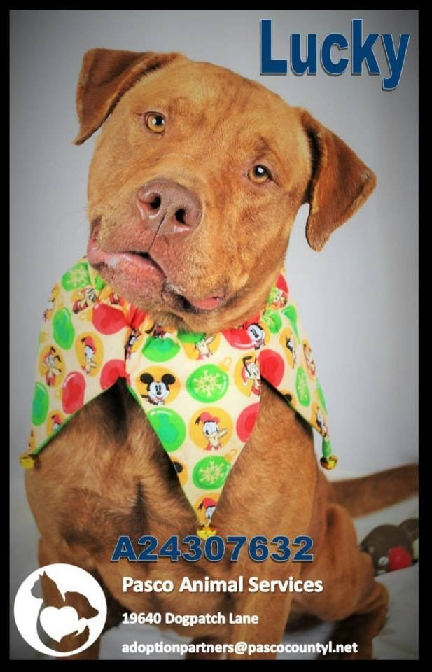 Lucky Is One Of The Many Dogs Needing A Foster Adopter Rescue Asap At Pasco County Animal Services Land O Lakes Fl Animals Pasco Pasco County
