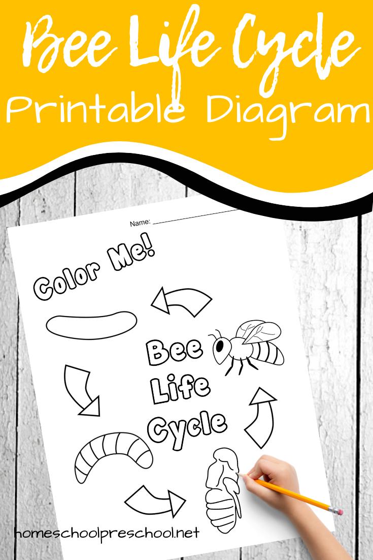 Printable Honey Bee Life Cycle Diagram Bee Life Cycle Honey Bee Life Cycle Life Cycles Preschool [ 1102 x 735 Pixel ]
