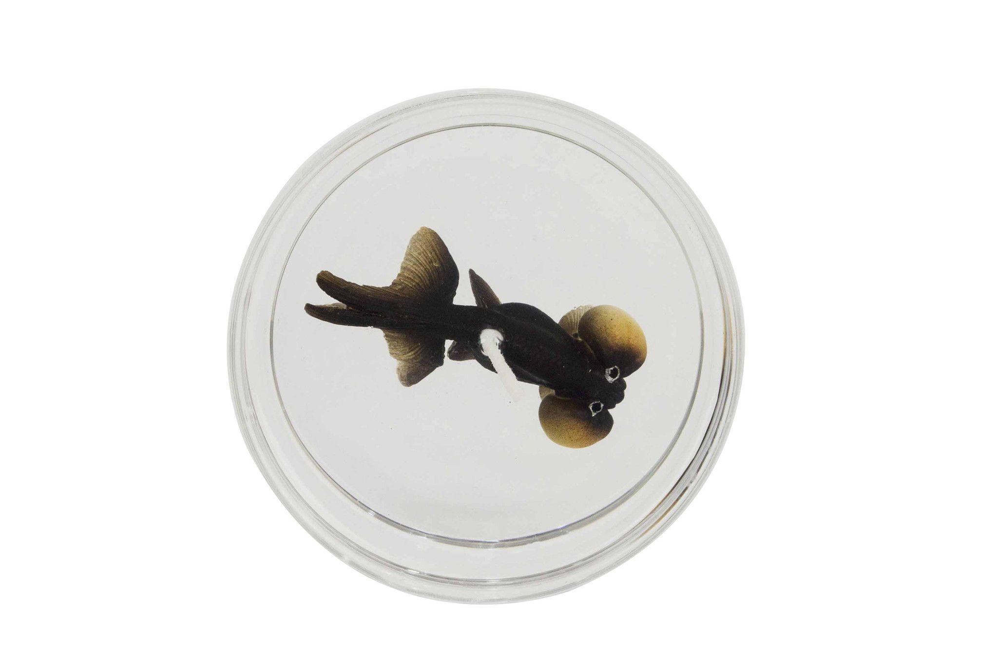 Bubble Eye Goldfish Fancy Blister Products Pinterest