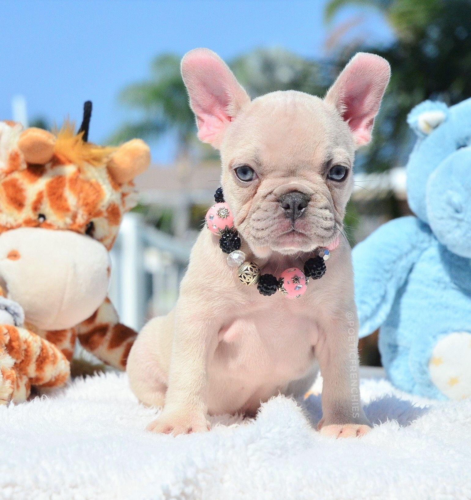 Miss Bright Eyes Www Poeticfrenchbulldogs Com Frenchbulldog